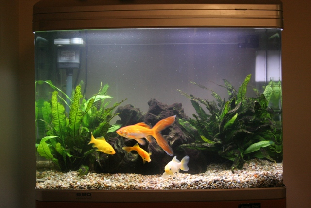 Post a pick of your Fish tank and Fish - PistonHeads